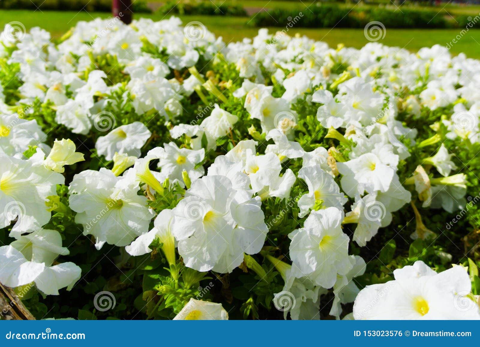 Champ des fleurs blanches fleurissant dans le soleil d été