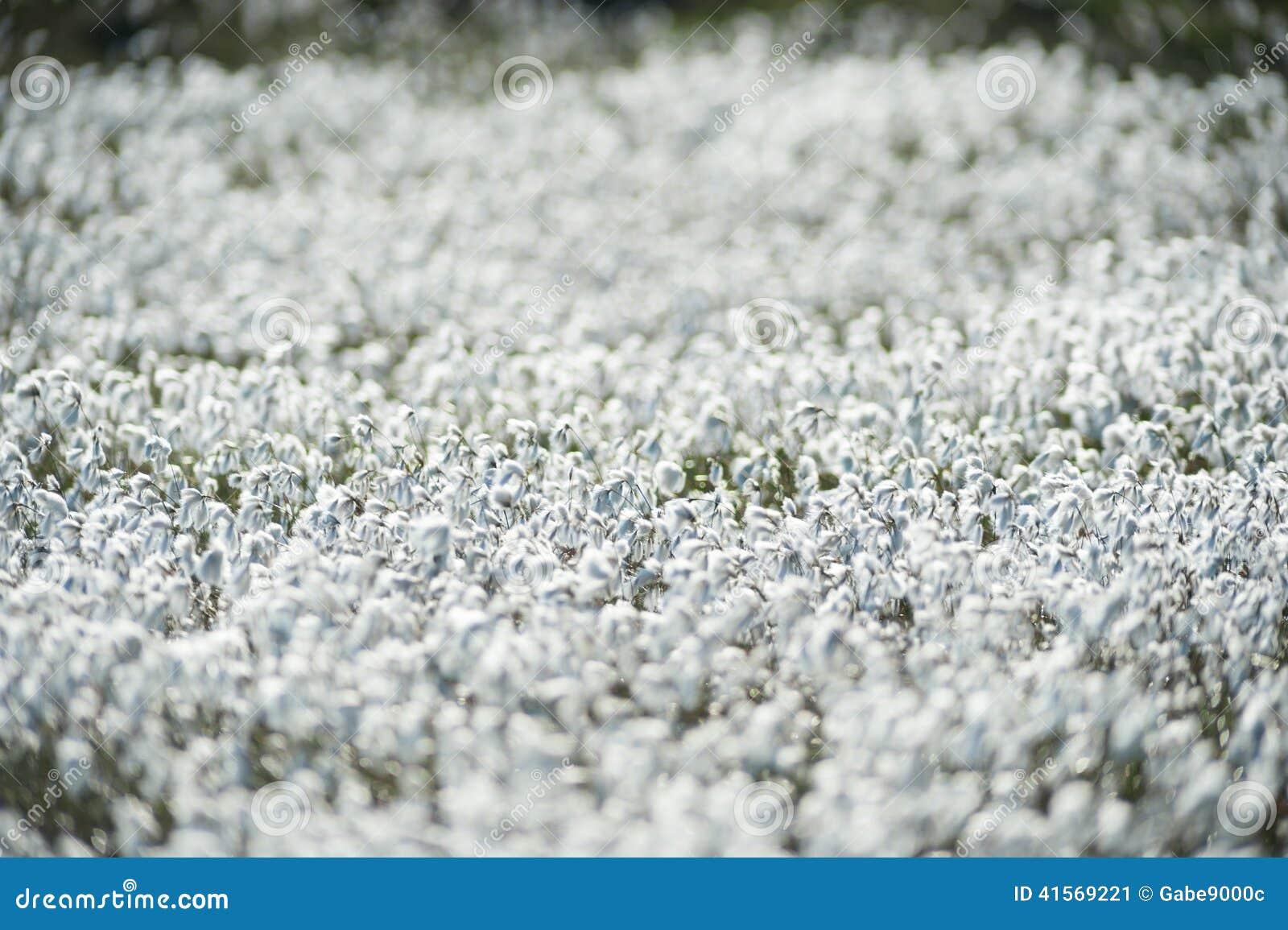 Favori Champ Des Fleurs De Coton De Marais Image stock - Image: 41569221 TO77