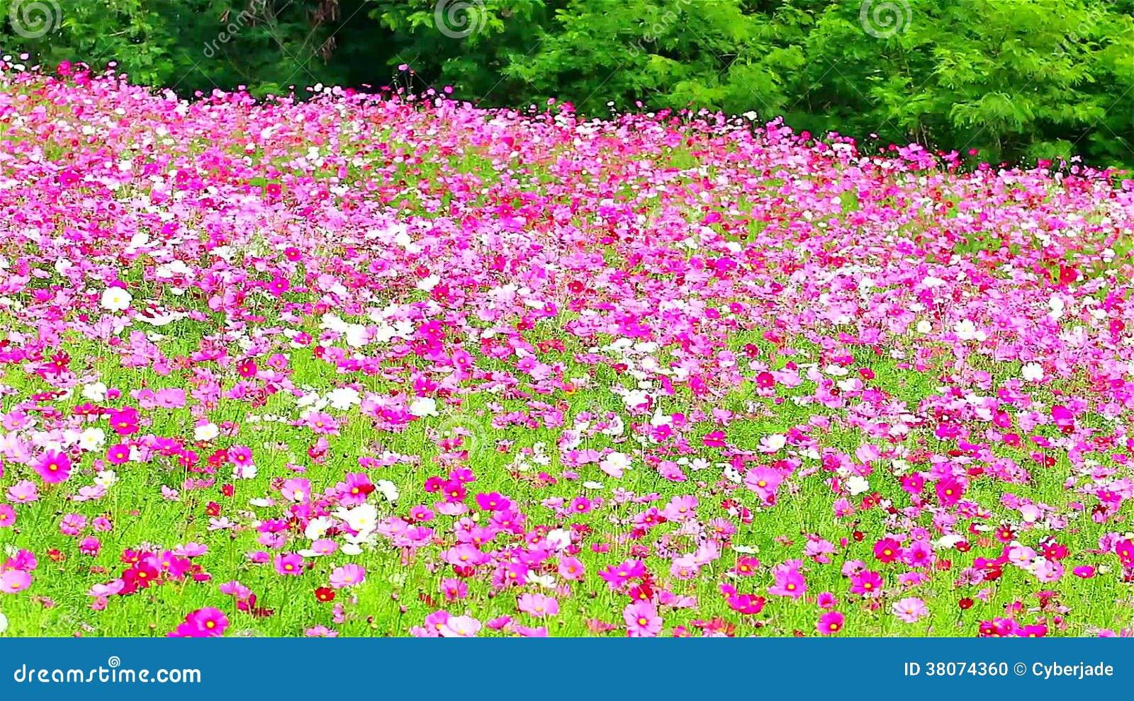 photo fleurs des champs rose id e d 39 image de fleur. Black Bedroom Furniture Sets. Home Design Ideas