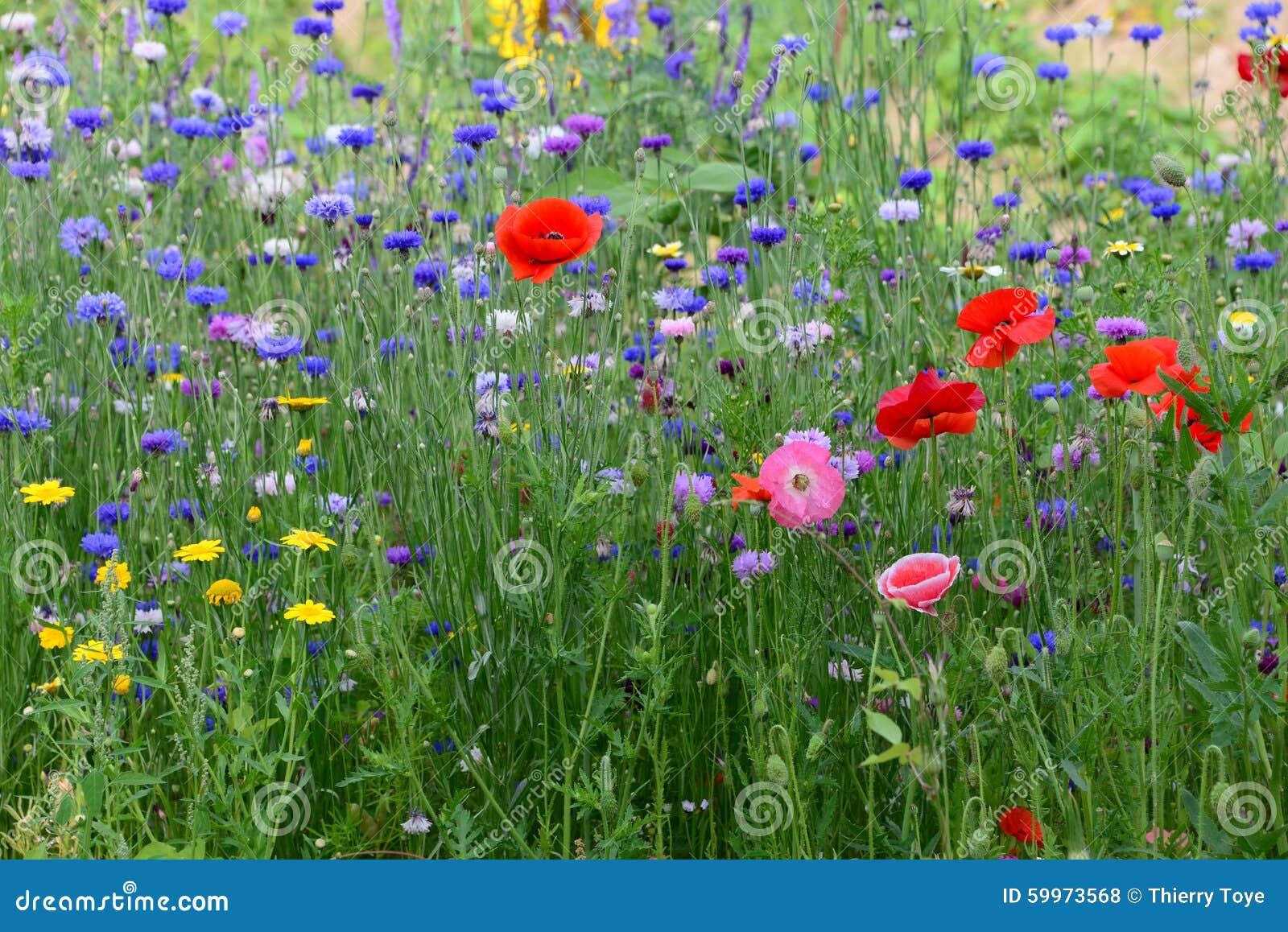 champ des fleurs sauvages avec un bon nombre de couleurs dans le jardin en belgique photo stock. Black Bedroom Furniture Sets. Home Design Ideas