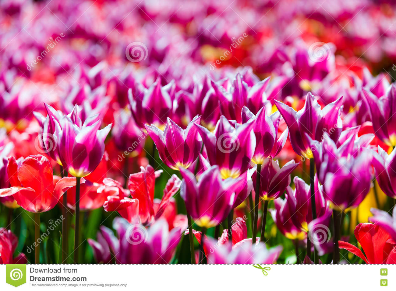 Champ des tulipes