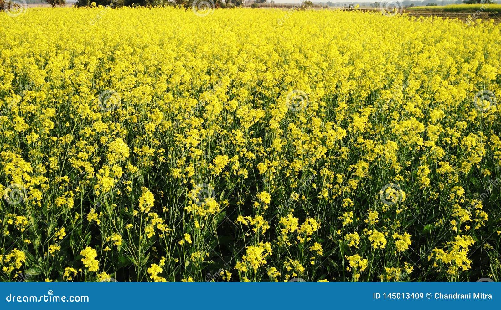 Champ jaune lumineux de moutarde au village tout près
