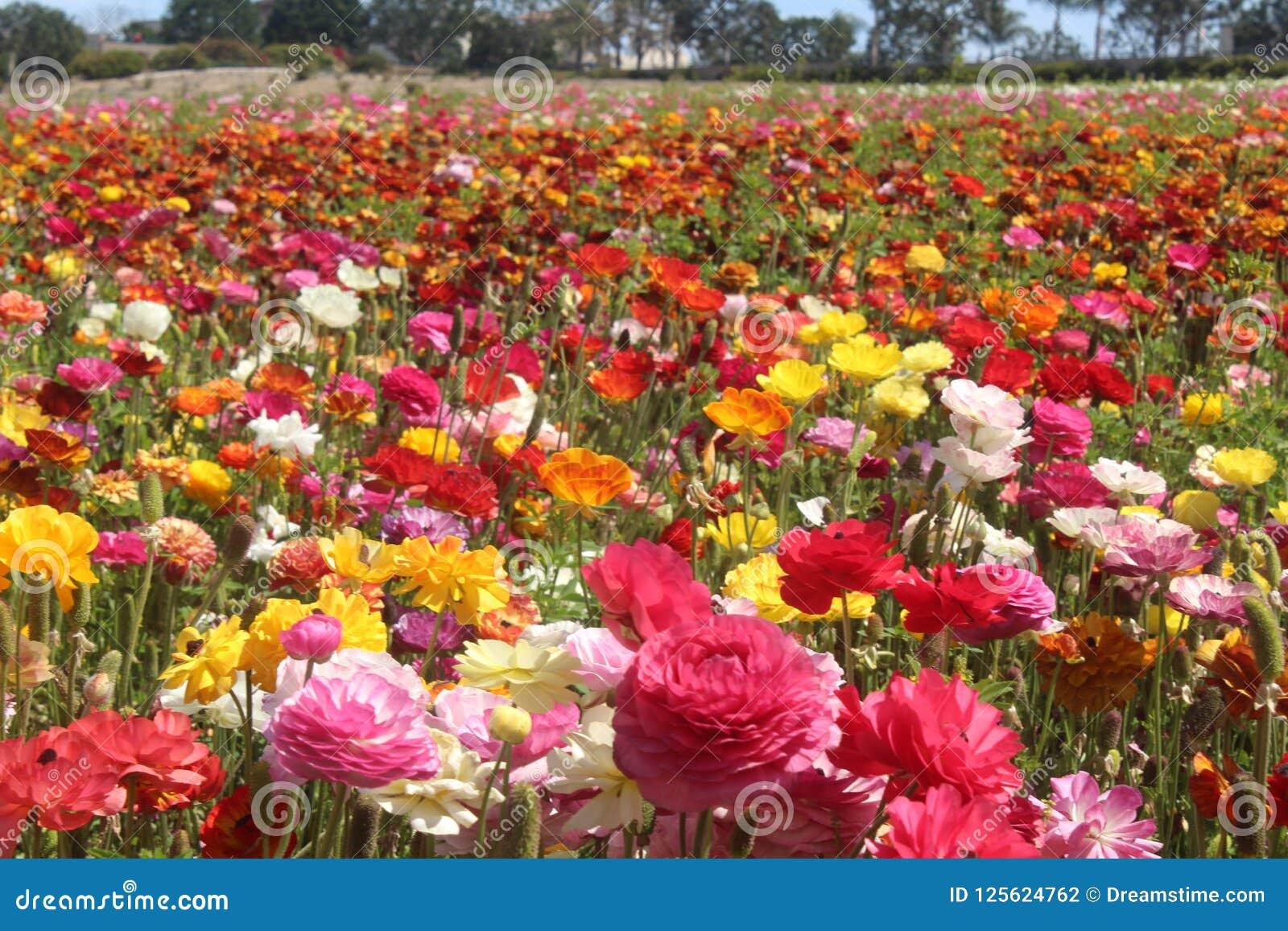 Champ Micro Des Fleurs Fleurs Roses Fleurs Rouges Champs Des Fleurs Carlsbad Ca Photo Stock Image Du Rose Blanc 125624762
