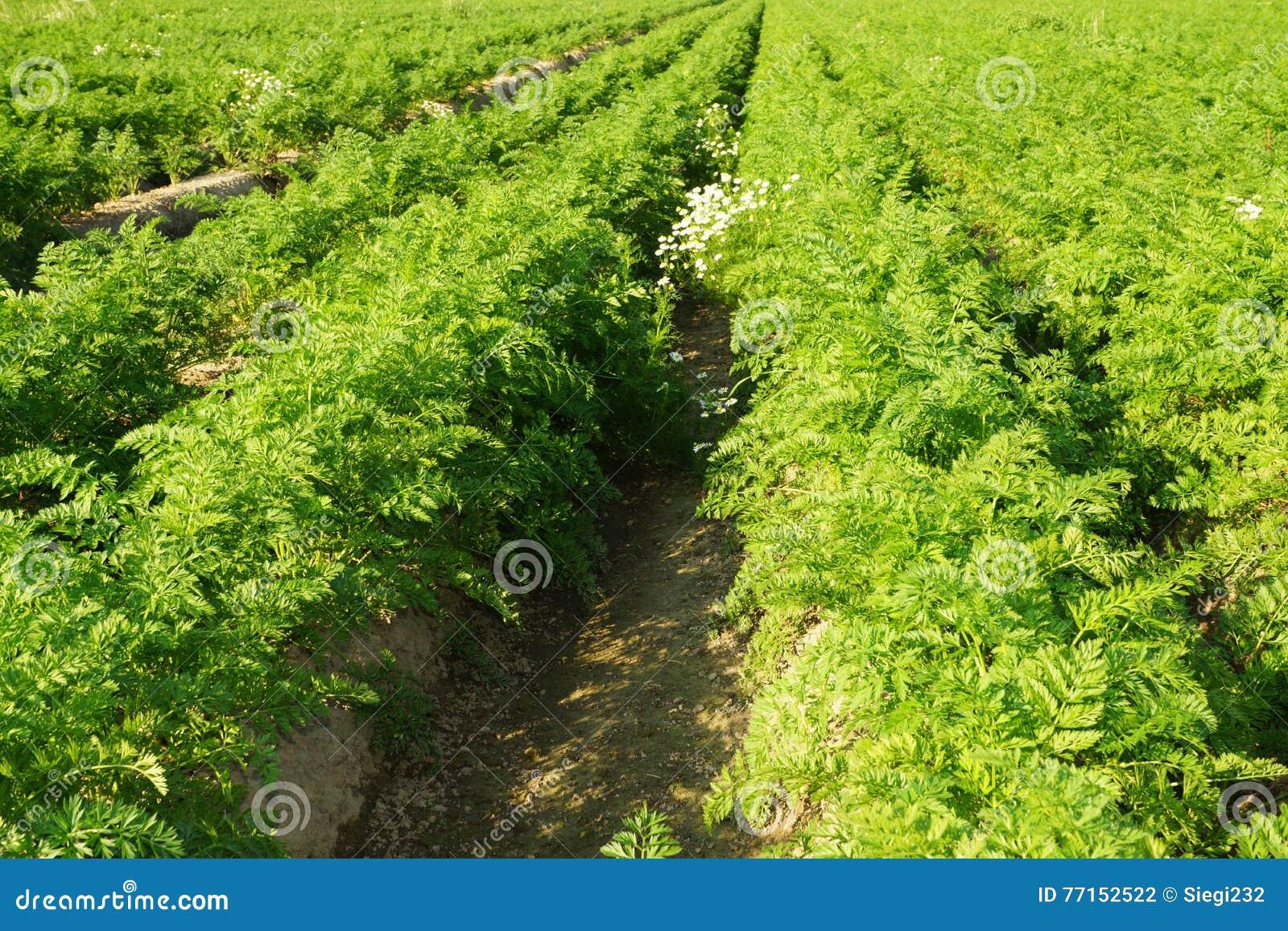 Champ végétal avec des carottes