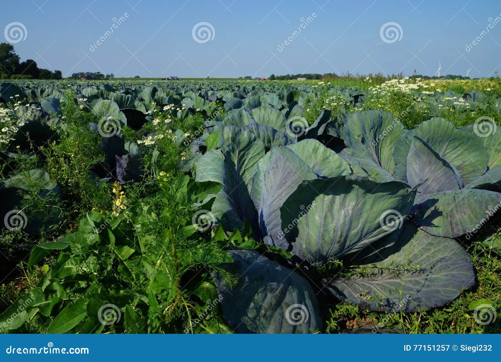 Champ végétal avec des usines de chou