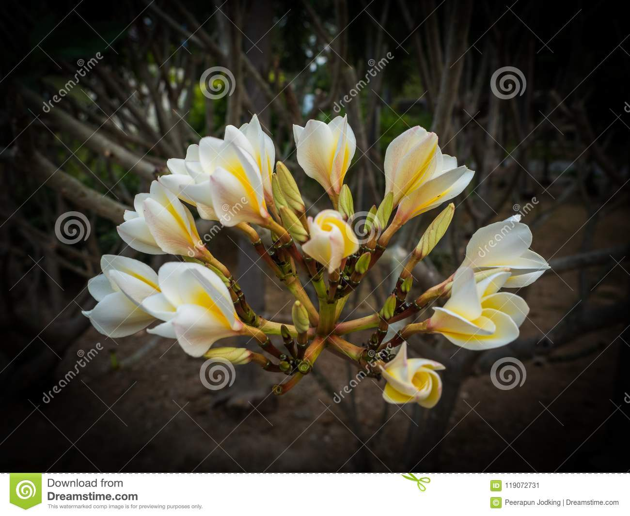 Champa Flower A Blossoming In The Garden, Lowkey Stock Image - Image ...