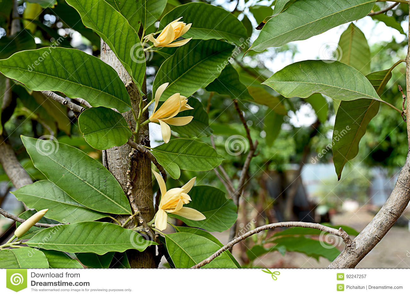 Champaca Stock Image Image Of Color Magnolia Tropical 92247257