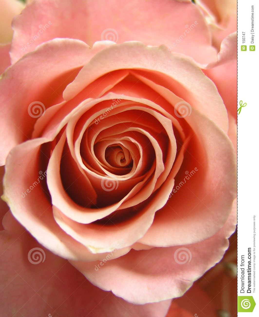 Champagne Rose Royalty Free Stock Photography Image 150747