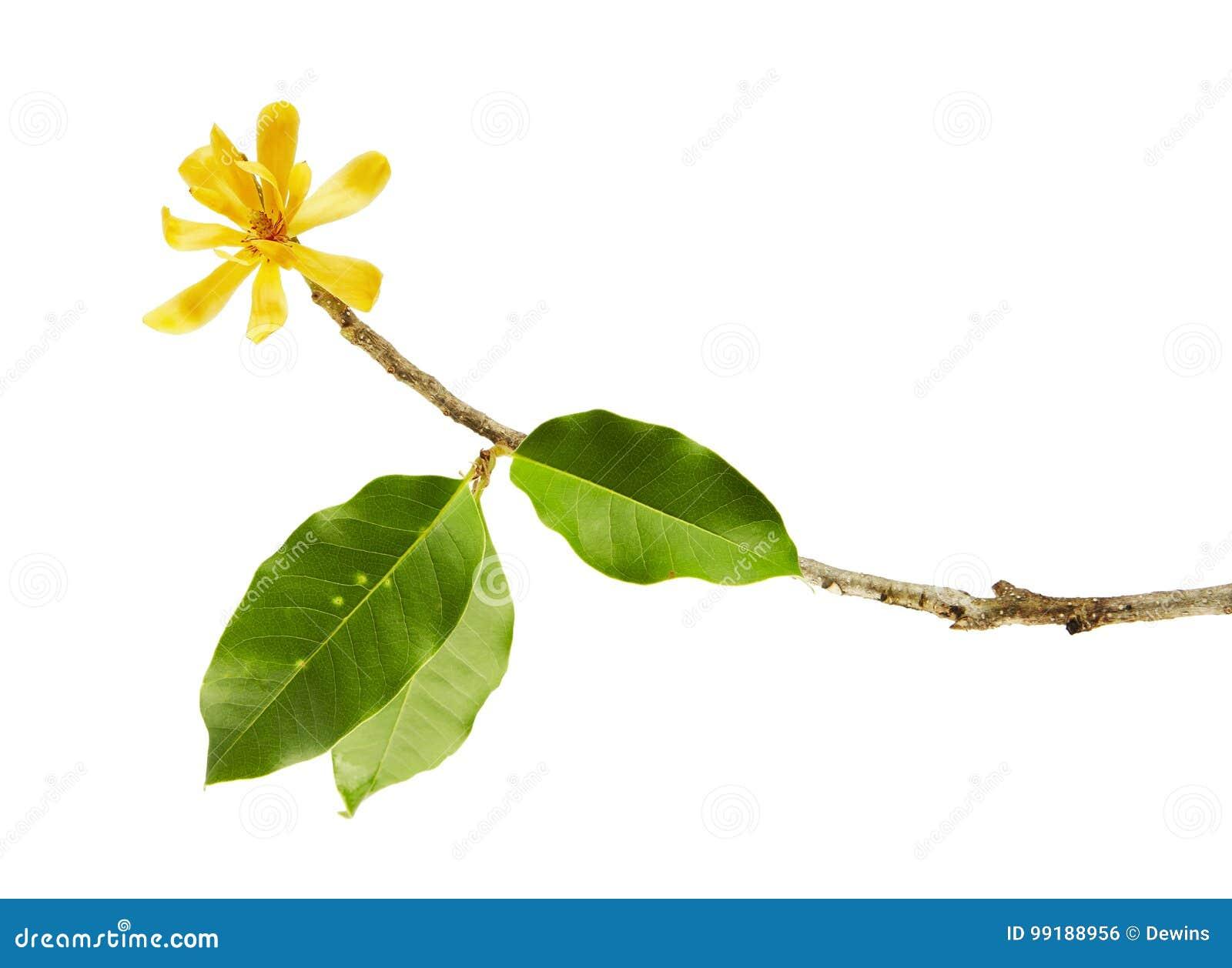 Champak Flower X22magnolia Champaca X22 Fragrant Yellow