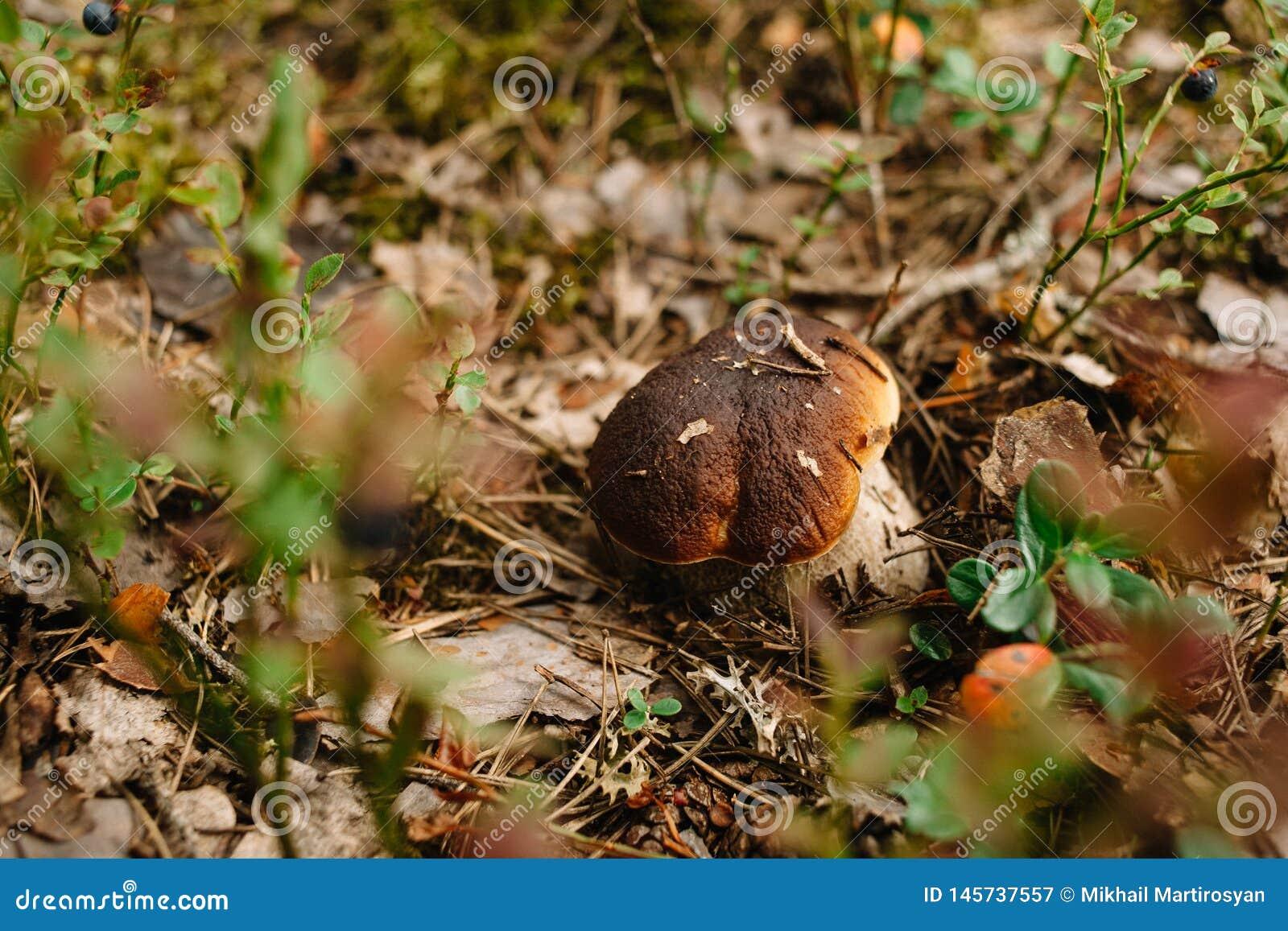 Champignon blanc dans l herbe dans le végétarien diététique de forêt