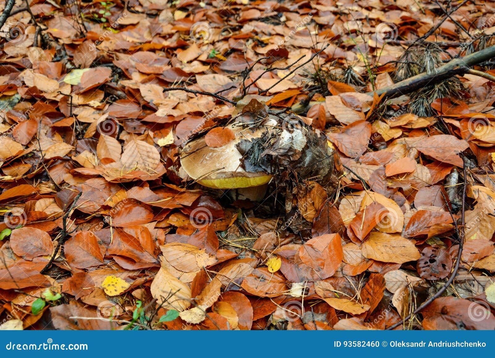 Champignon blanc dans la forêt