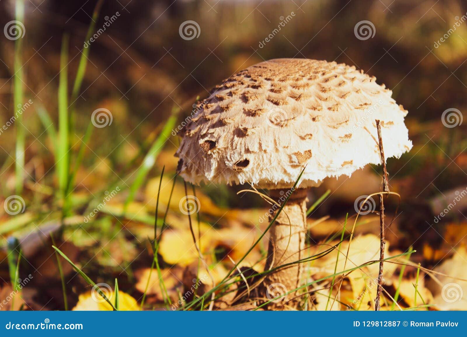 Champignon comestible de belle forêt d automne