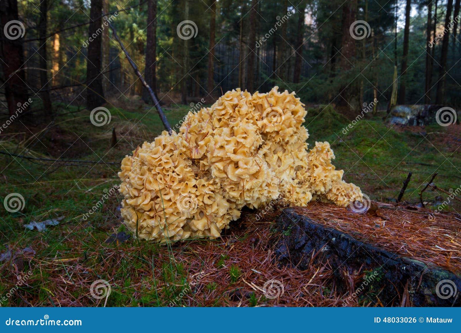 Attractive champignon choux fleur comestible 4 champignon chou fleur - Pomme de terre germee comestible ...