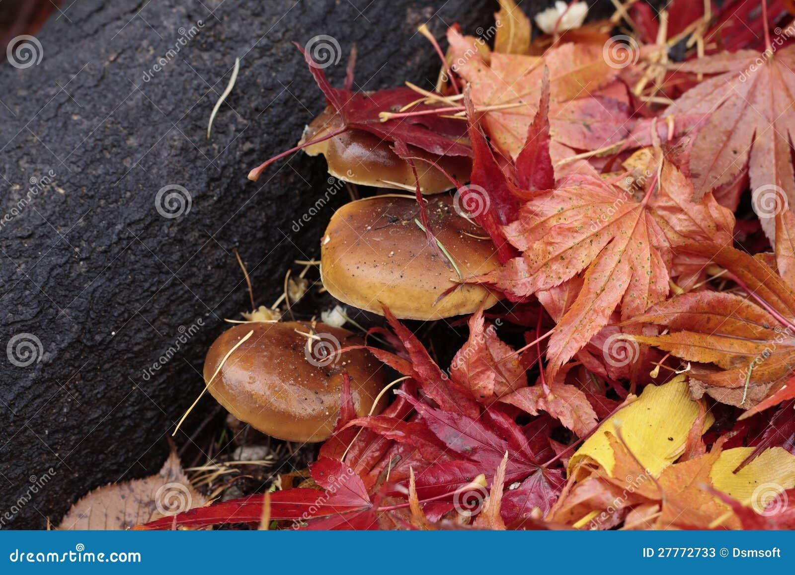 Champignon de couche dans le feuillage tombé coloré