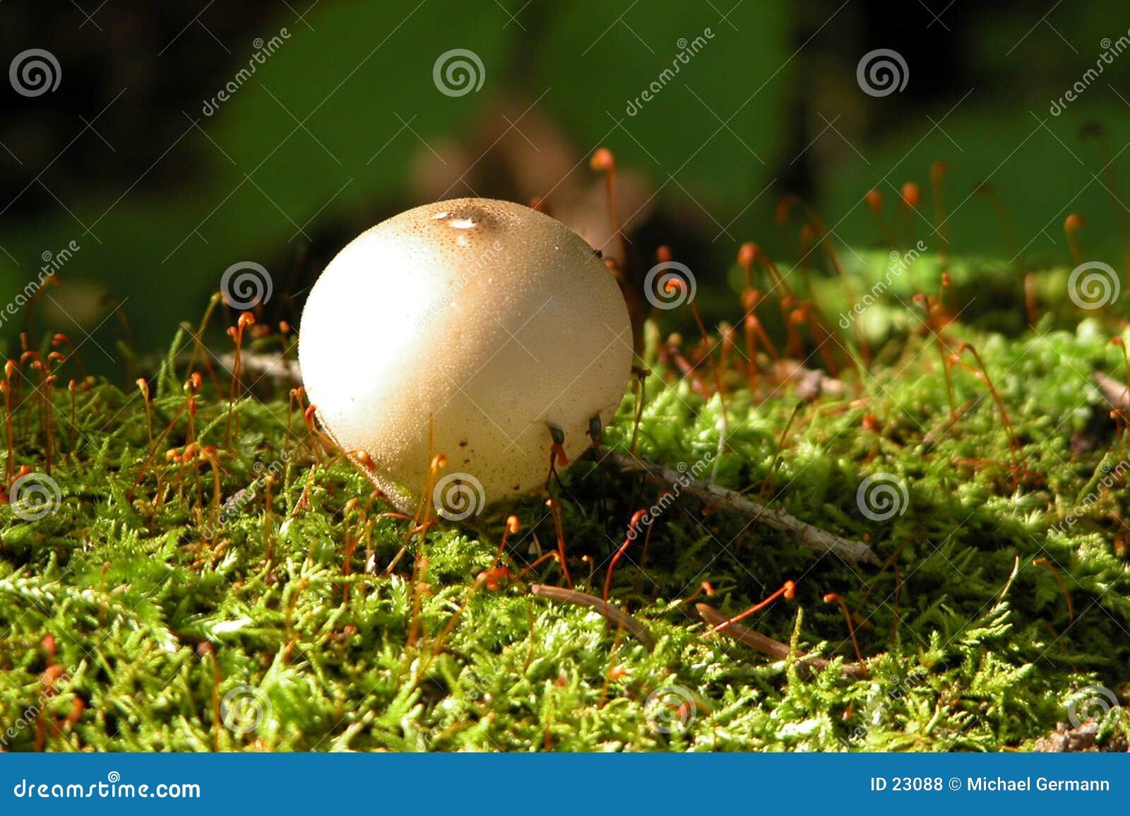 Champignon de couche sur la mousse