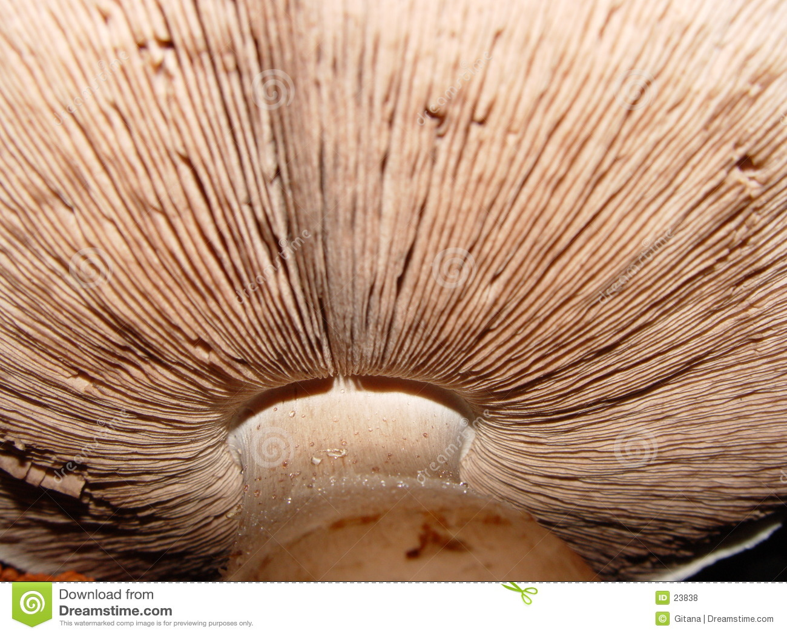 Champignon de couche très grand