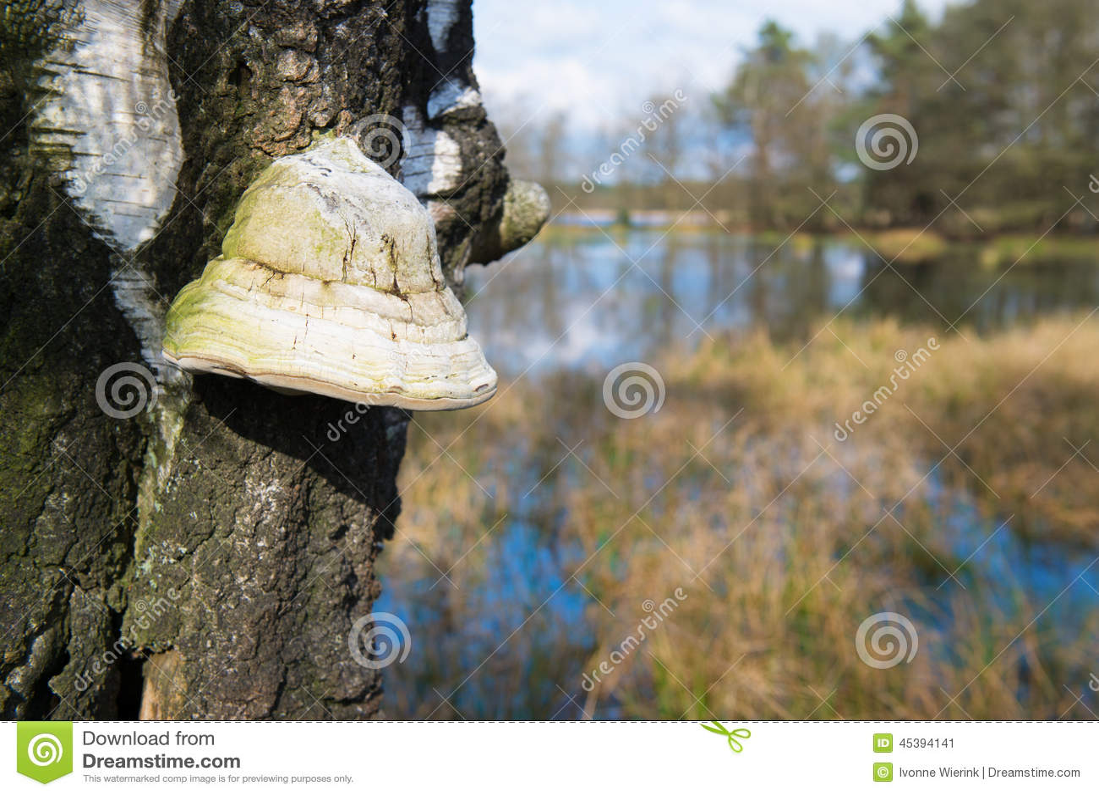 Champignon de mati re inflammable sur l 39 arbre photo stock image 45394141 - Champignon sur tronc d arbre ...