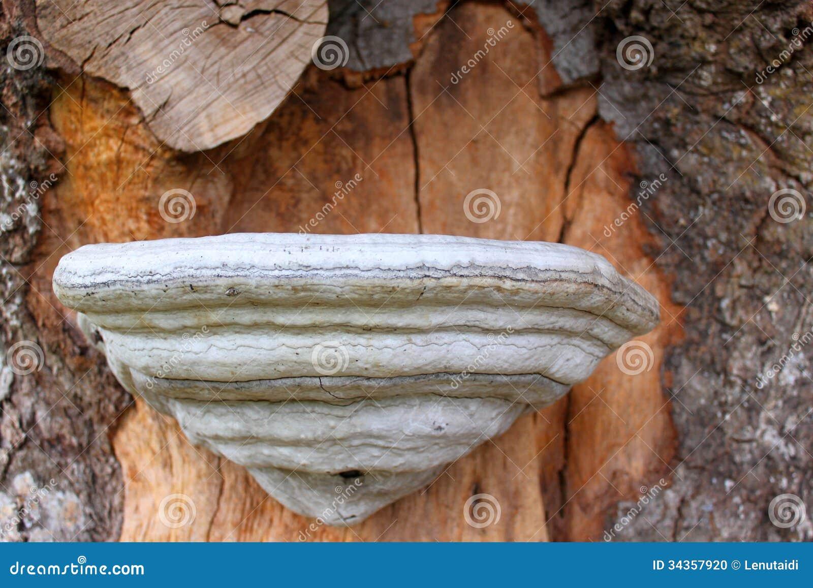 Champignon de mati re inflammable sur le tronc d 39 arbre photo stock image 34357920 - Champignon sur tronc d arbre ...