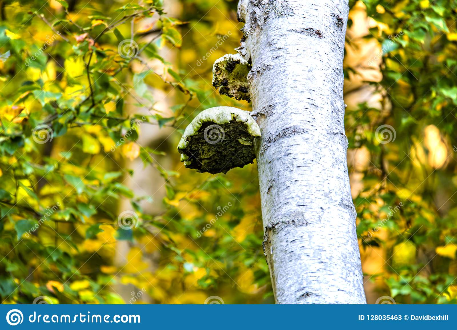 Champignon de parenthèse en bois antérieur, Crowhurst, le Sussex est, Angleterre