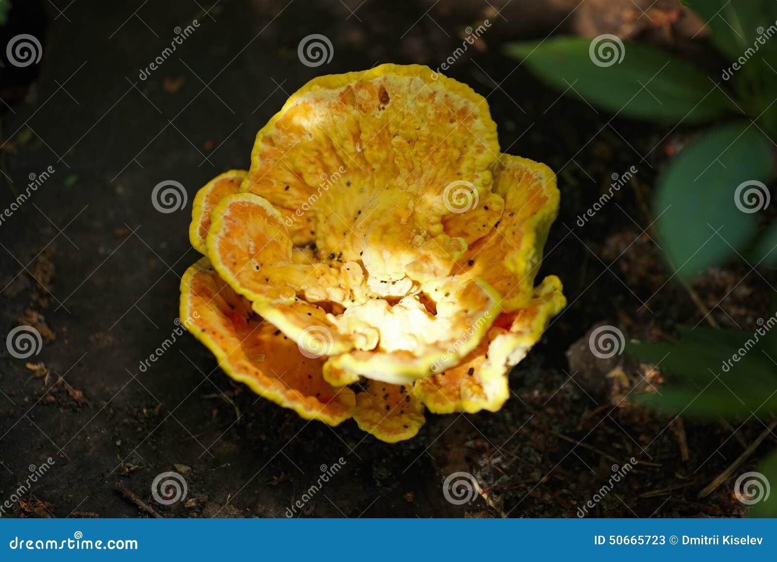 Champignon jaune d 39 arbre photo stock image 50665723 - Champignon sur tronc d arbre ...