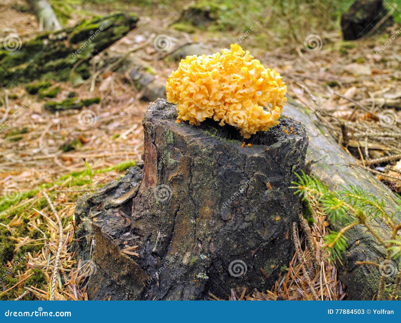 Champignon sauvage jaune sur le tronc d 39 arbre dans la r gion bois e d 39 automne photo stock - Champignon sur tronc d arbre ...
