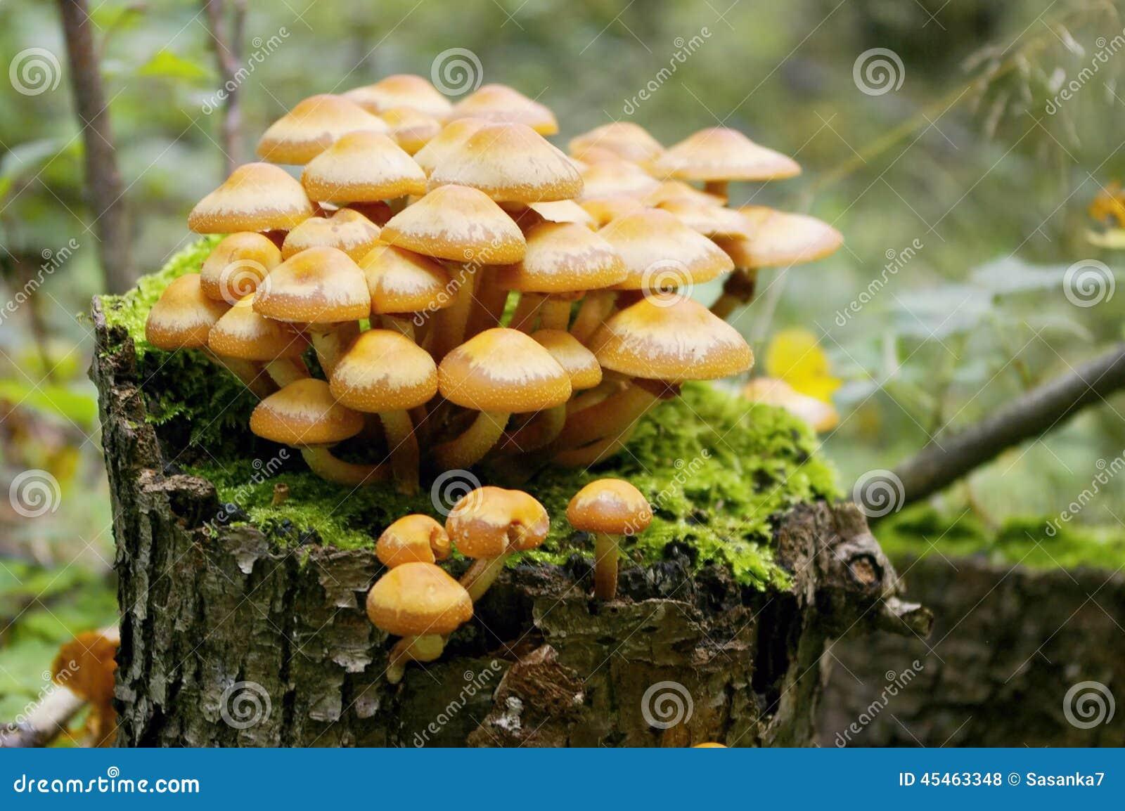 champignon sur la souche photo stock image 45463348. Black Bedroom Furniture Sets. Home Design Ideas