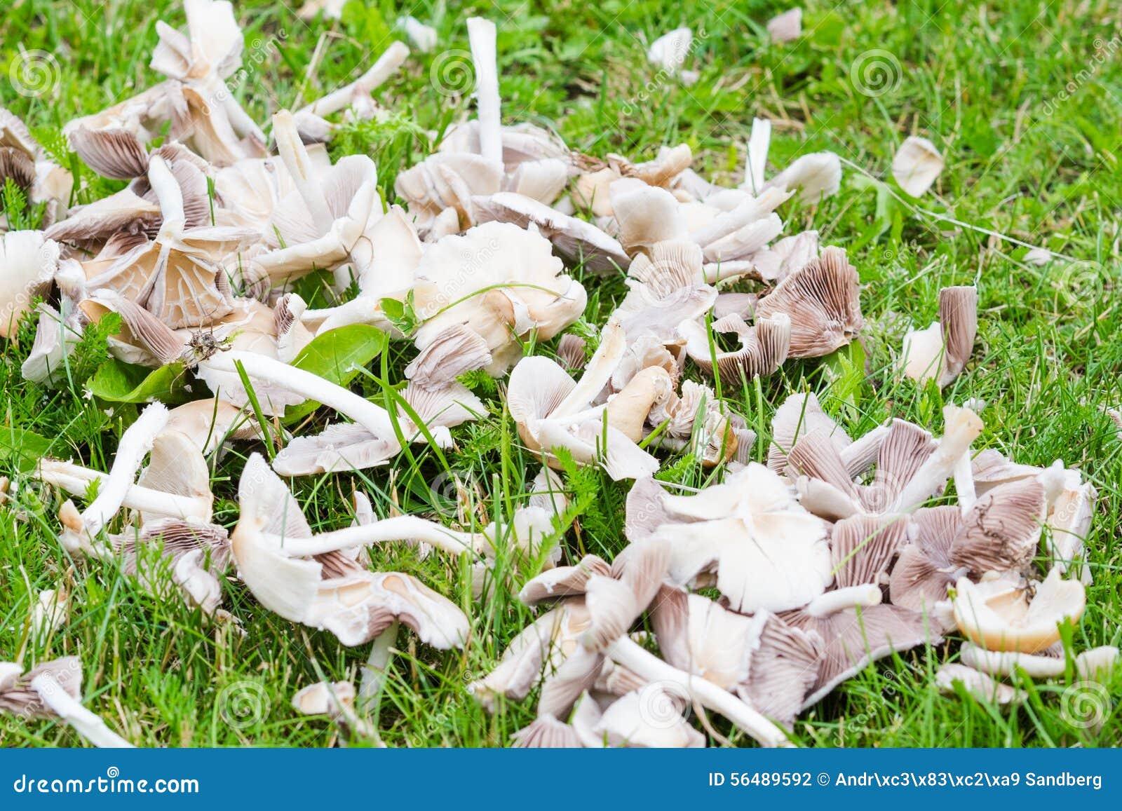 Champignons blancs sur l herbe de jardin