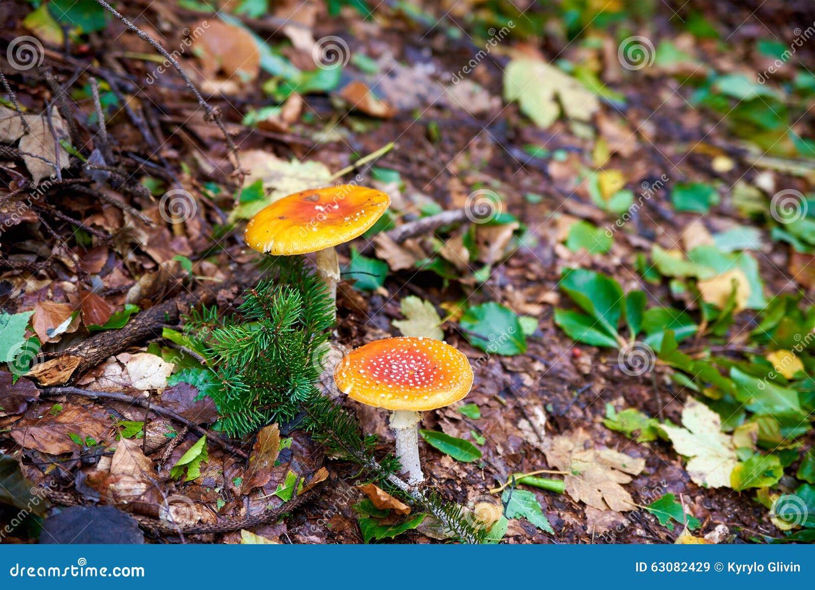 Download Champignons dans la forêt image stock. Image du branchement - 63082429