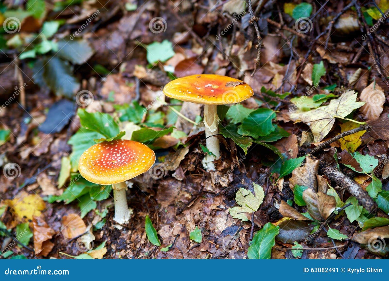 Download Champignons dans la forêt image stock. Image du moisson - 63082491