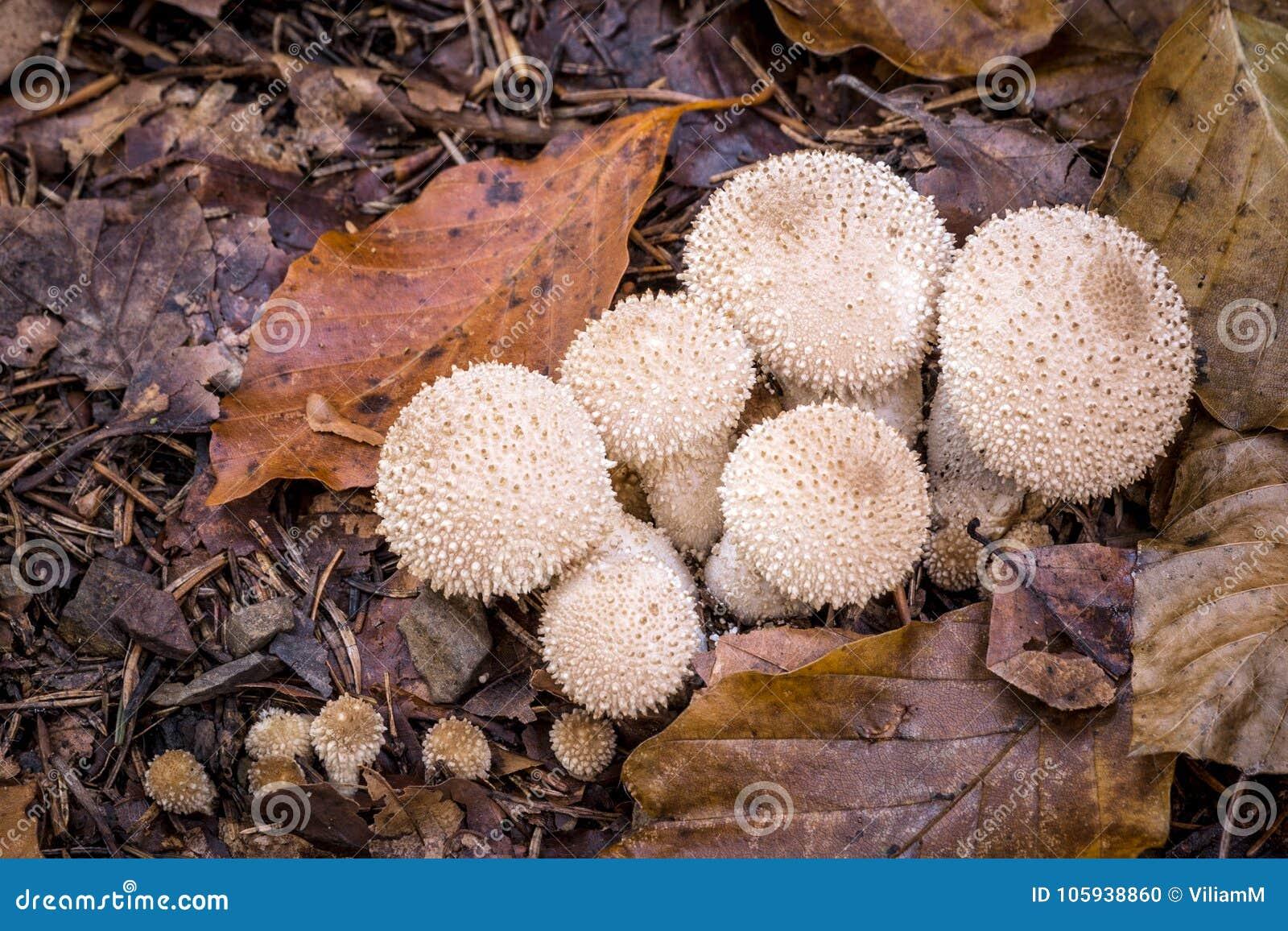 Champignons de couche au sol