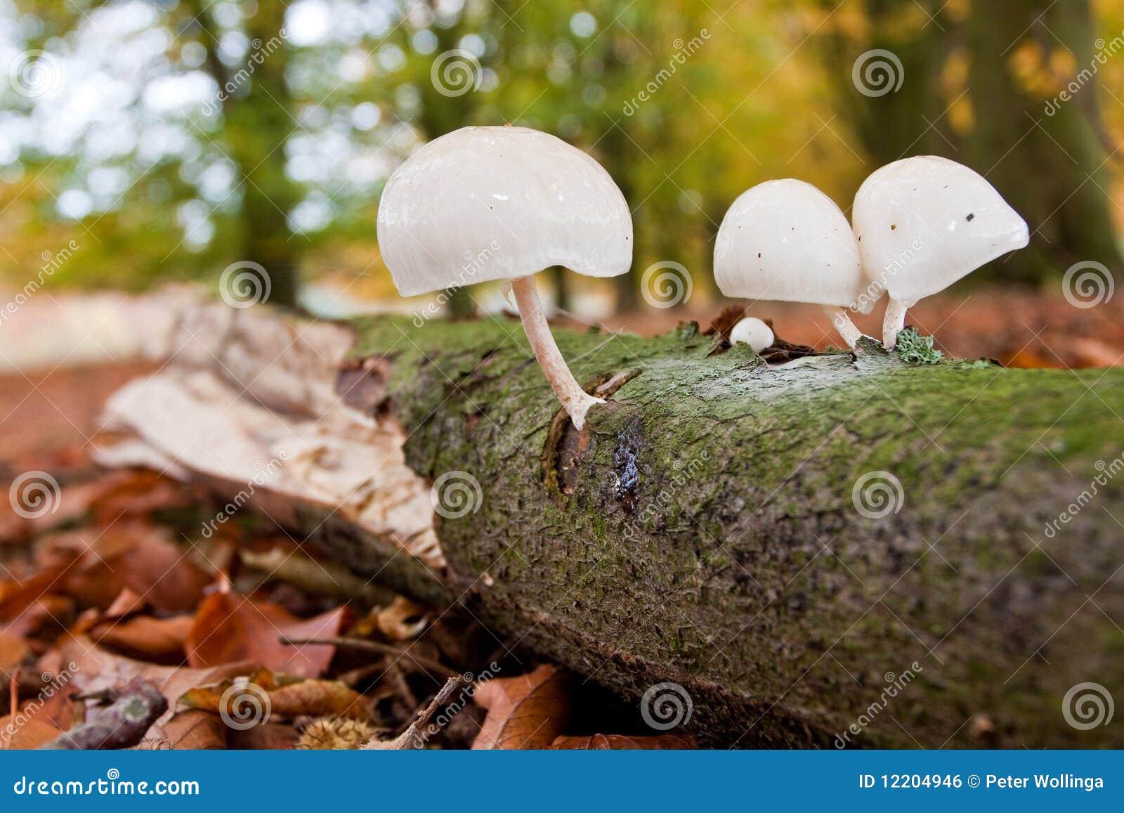 Champignons de couche blancs sur un branchement