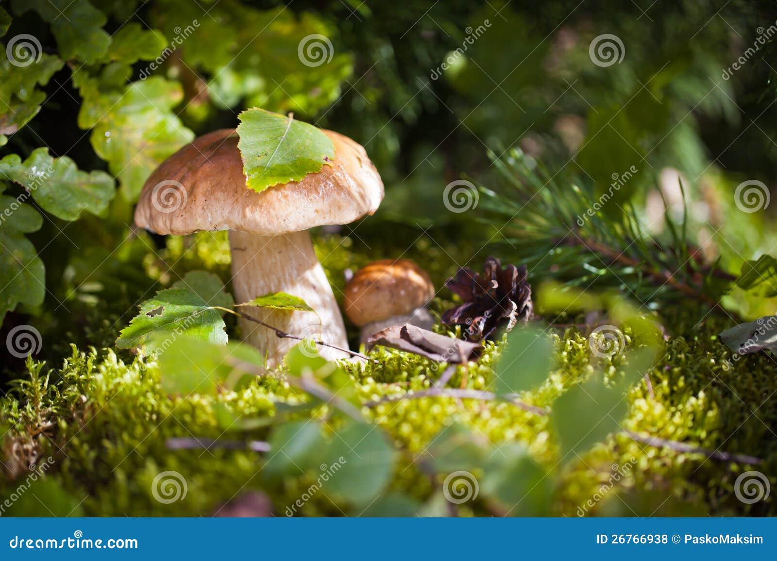 Champignons de couche communs dans la forêt