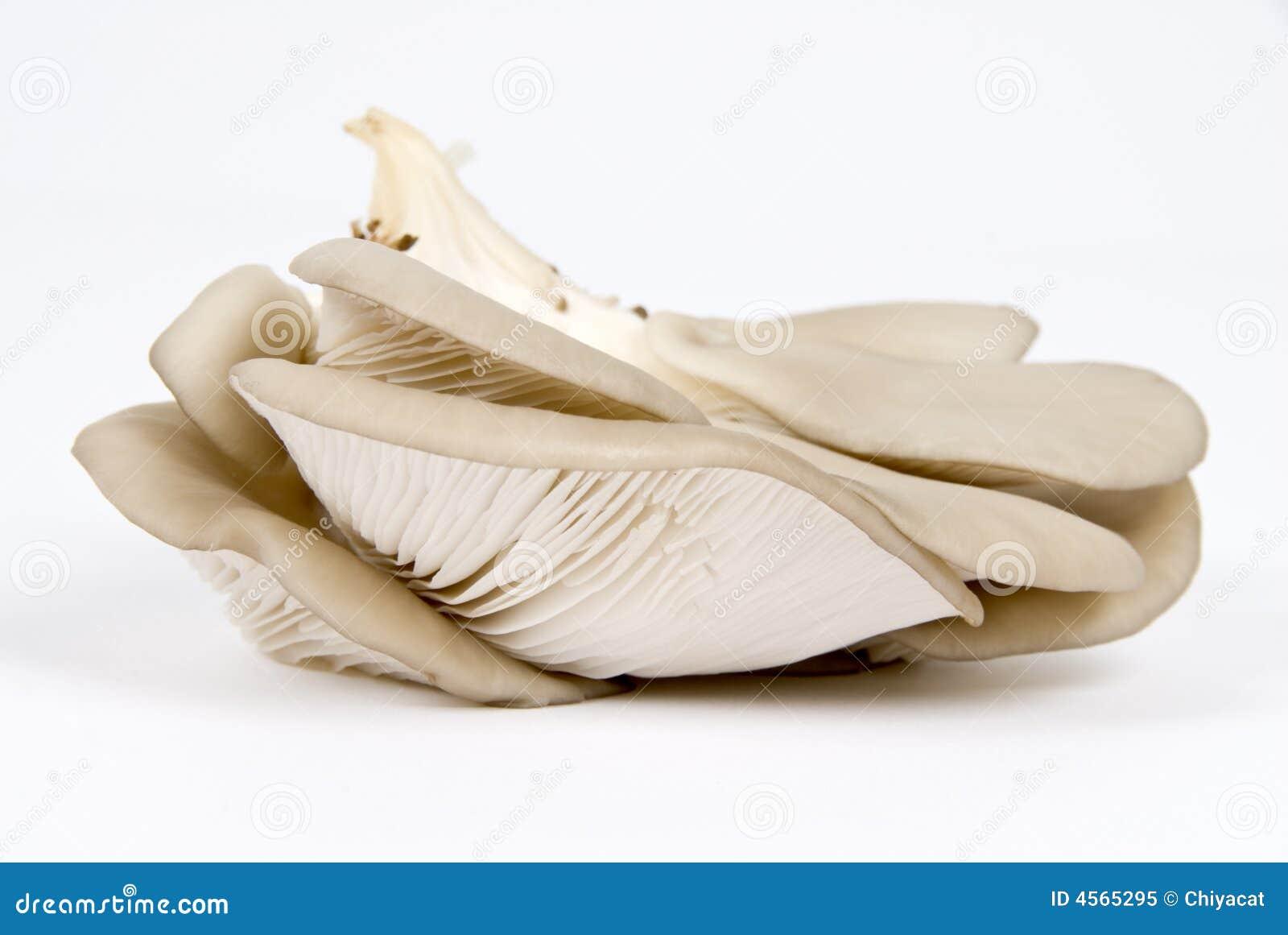 Champignons de couche d huître (mycète)