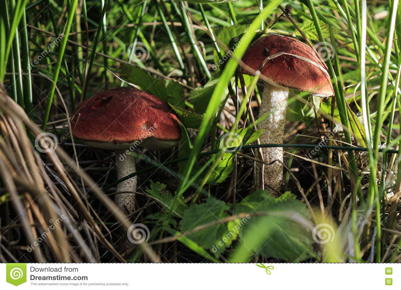 Champignons de couche de forêt