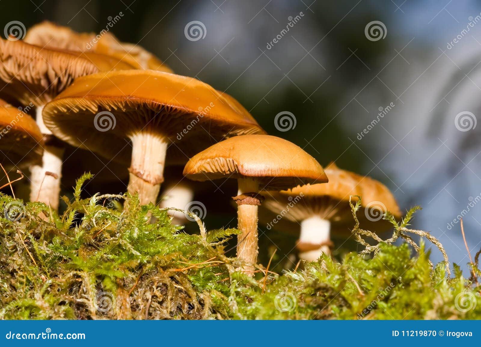 Champignons de couche en bois sur un moignon