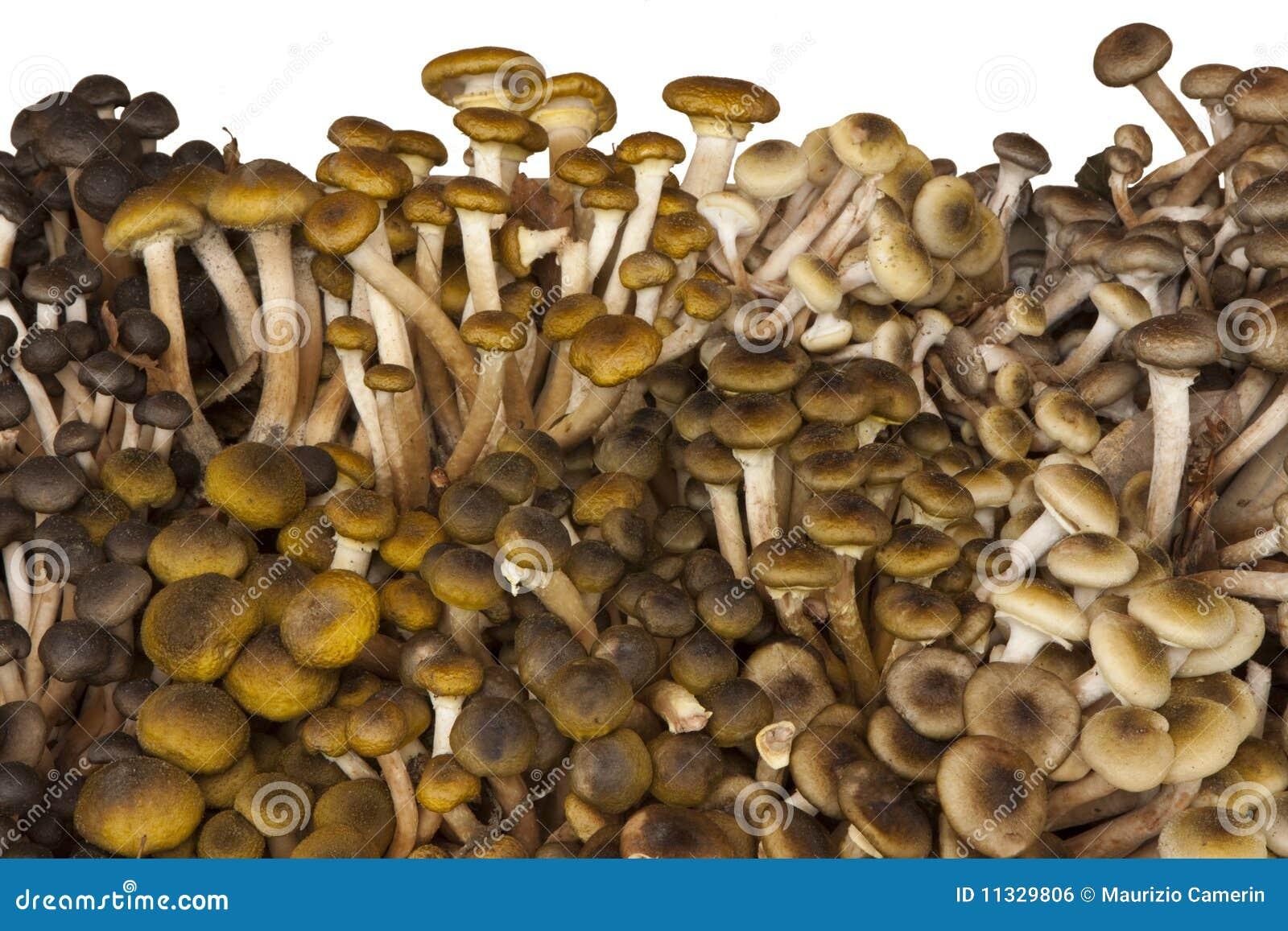 champignons de couche frais chiodini image libre de droits image 11329806. Black Bedroom Furniture Sets. Home Design Ideas