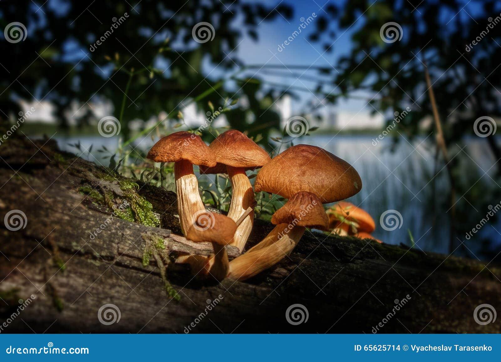 Champignons de couche toxiques