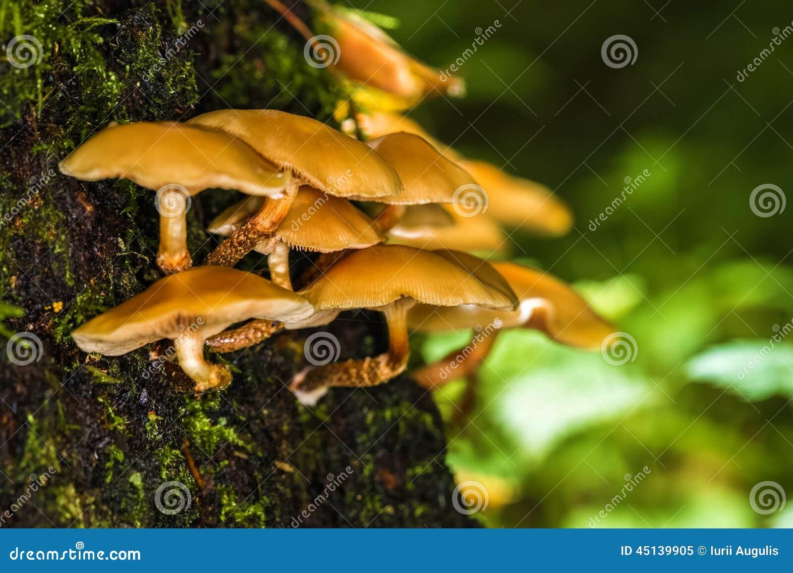 Champignons non comestibles dans la for t sur un tronc d 39 arbre photo stock image 45139905 - Champignon sur tronc d arbre ...