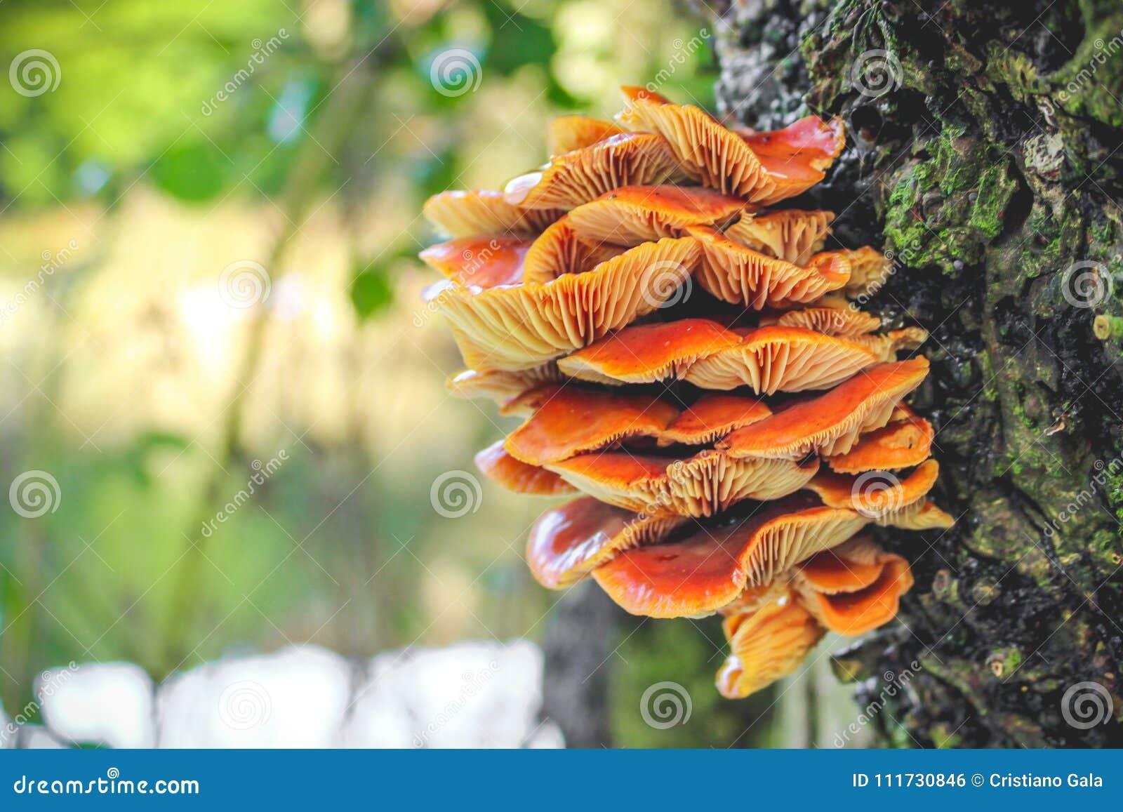 champignons oranges sur le tronc d 39 arbre photo stock image du orange fond 111730846. Black Bedroom Furniture Sets. Home Design Ideas