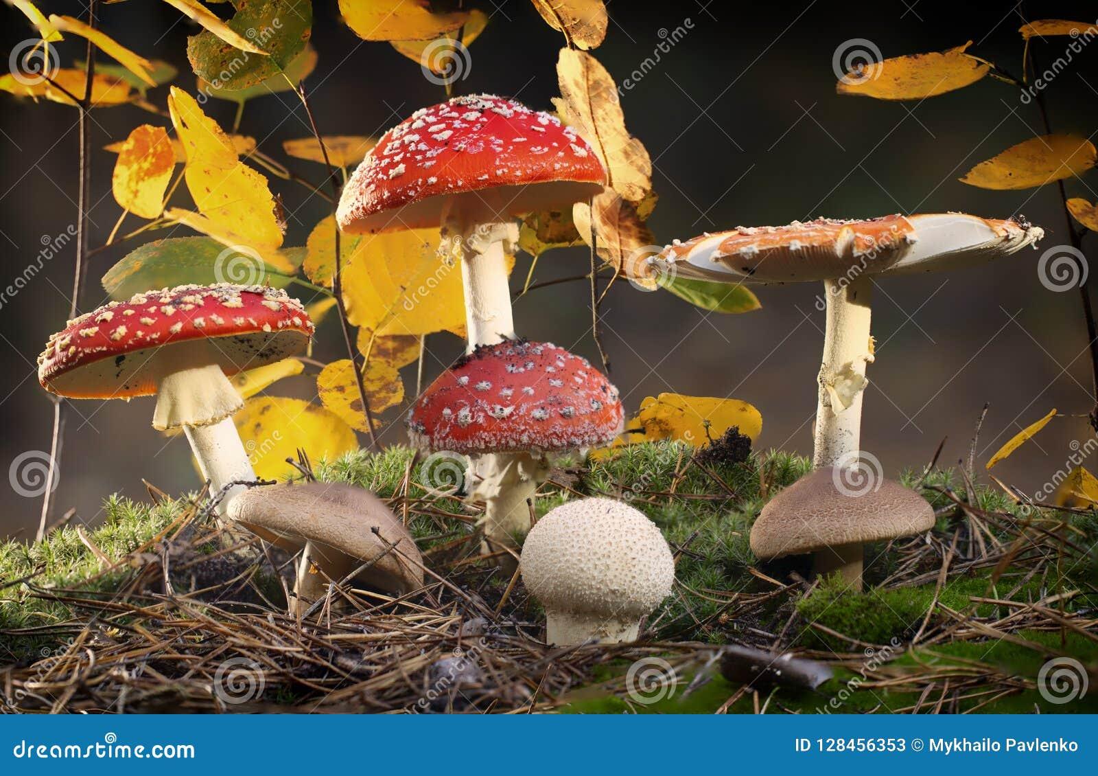 Champignons rouges d agaric de mouche de muscaria d amanite avec les taches blanches dans l herbe