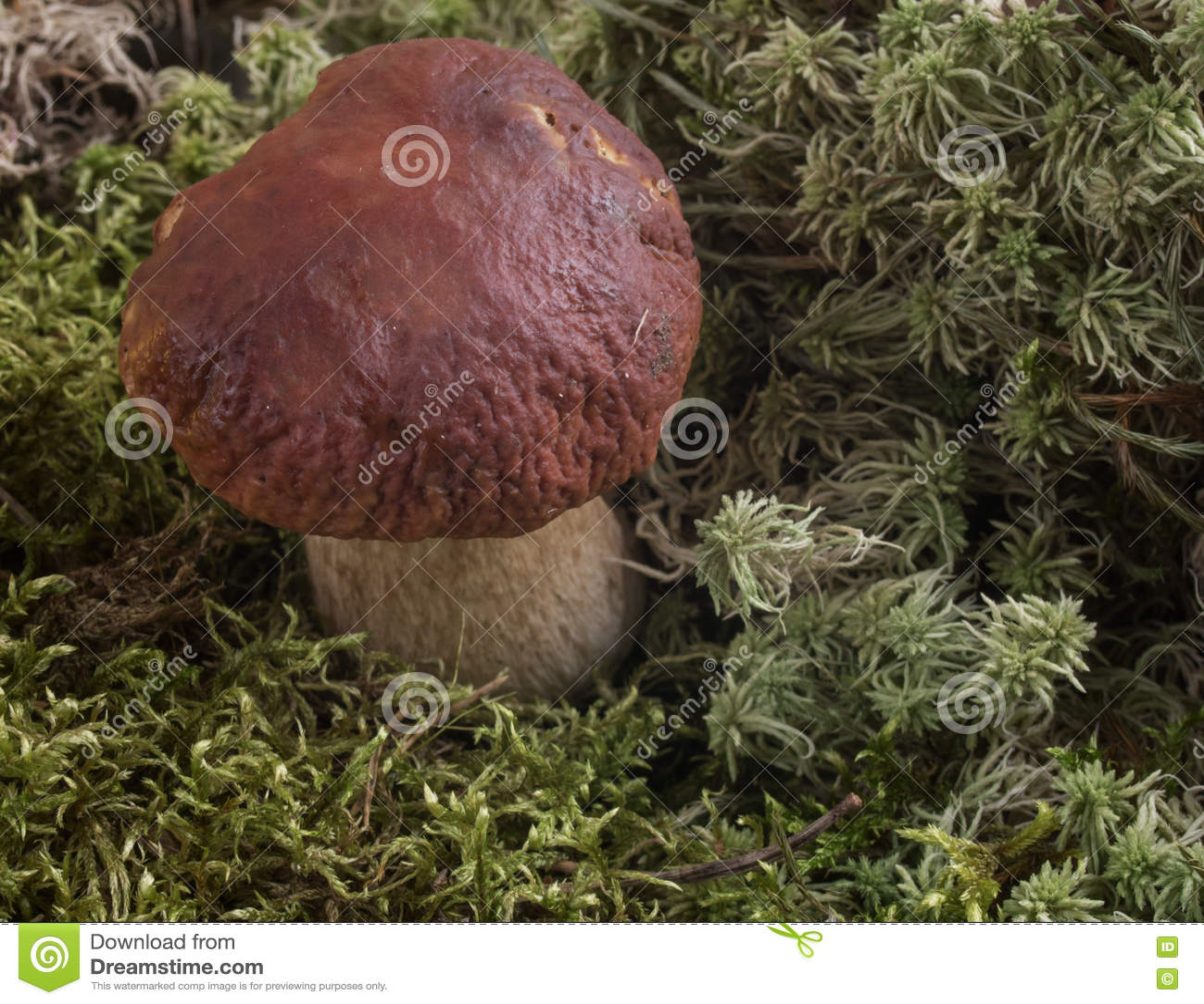 Champignons s élevant dans les bois