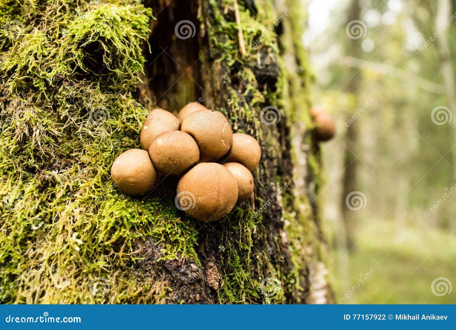 Champignons sur l arbre