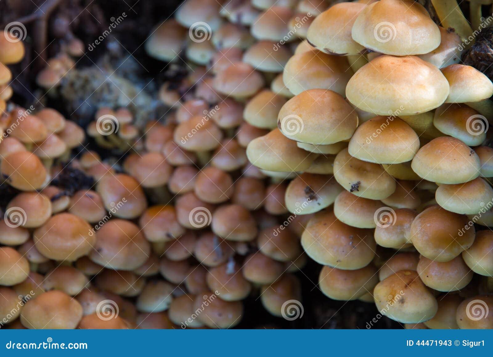 Champignons Toxiques De Colonia Photo stock - Image: 44471943