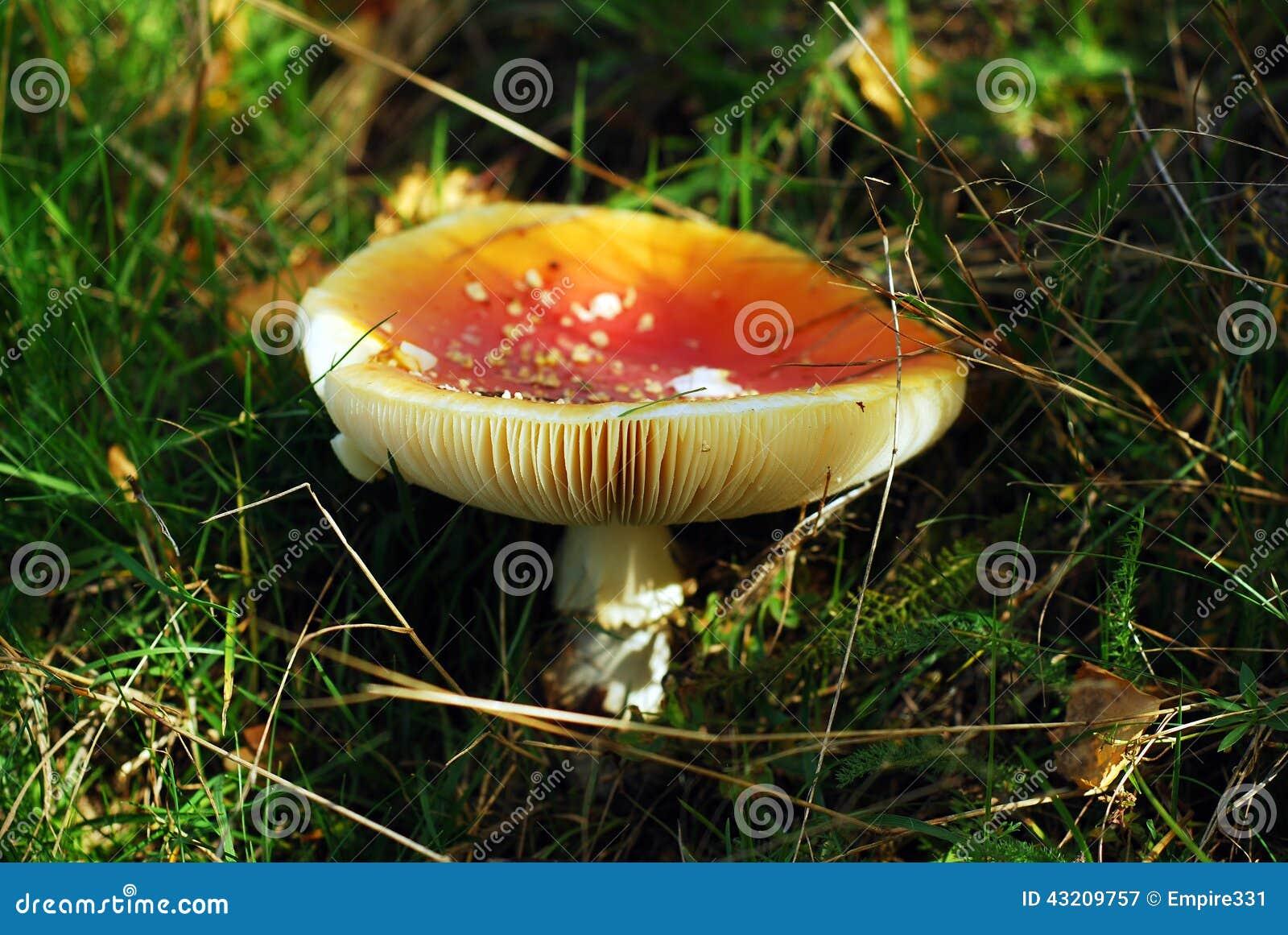 Download Champinjon För Muscaria För Amanitahöstfara Fotografering för Bildbyråer - Bild av giftigt, fluga: 43209757