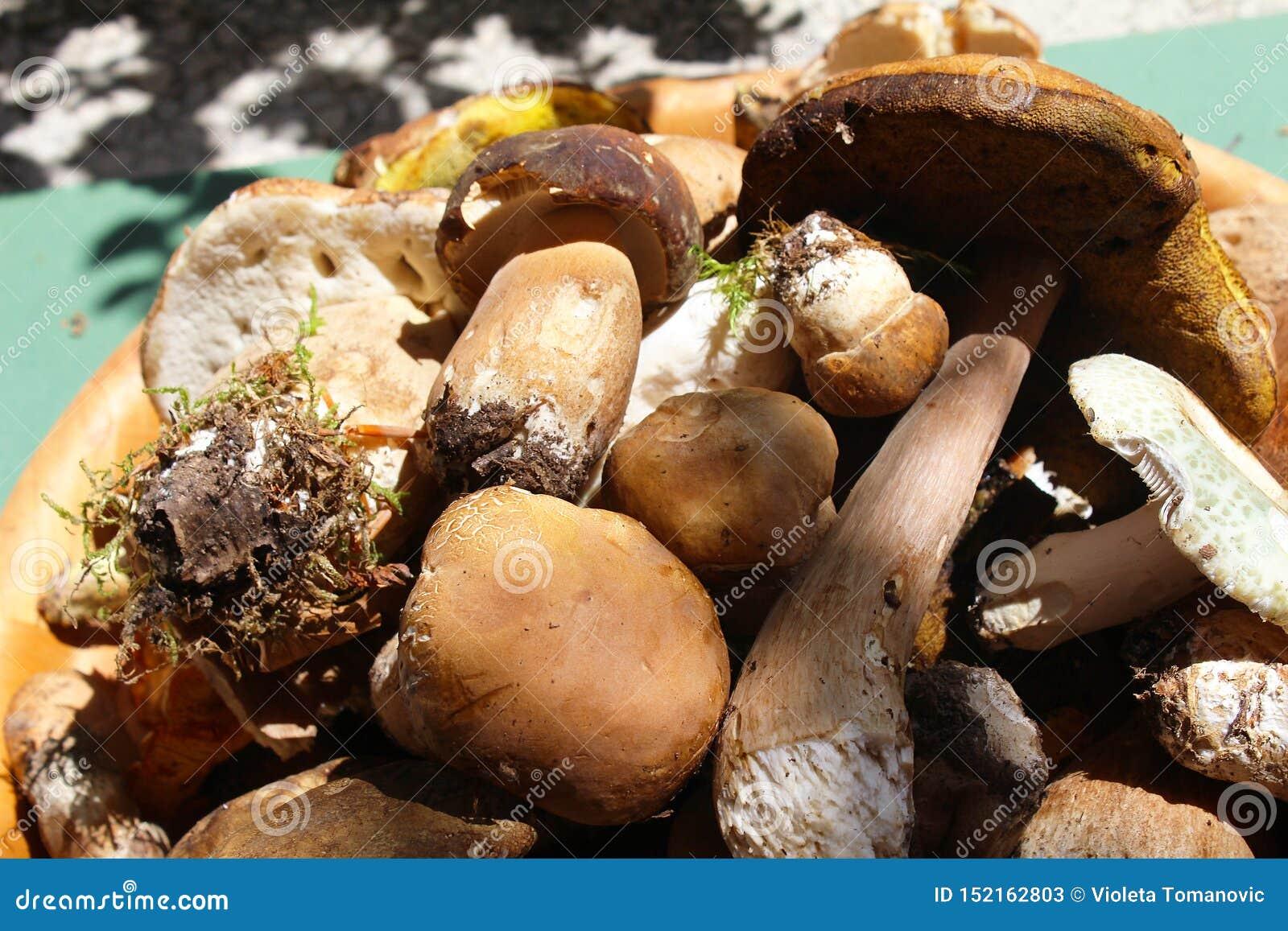 Champinjon och stensopp för Leccinumaurantiacum ätlig i träplattan som är rå från trät, makrofotografi