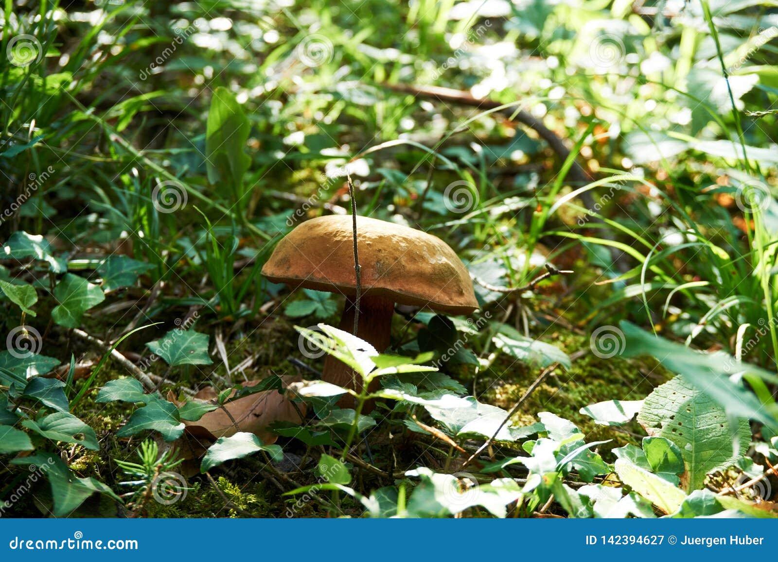 Champinjoner i skoggräs Sikt för höstskogchampinjon Champinjoner i höstskog