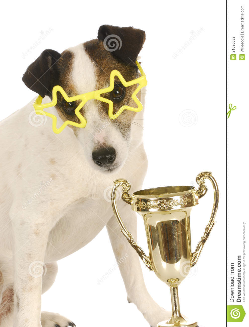 Champion dog - jack russell terrier wearing star shaped glasses ...