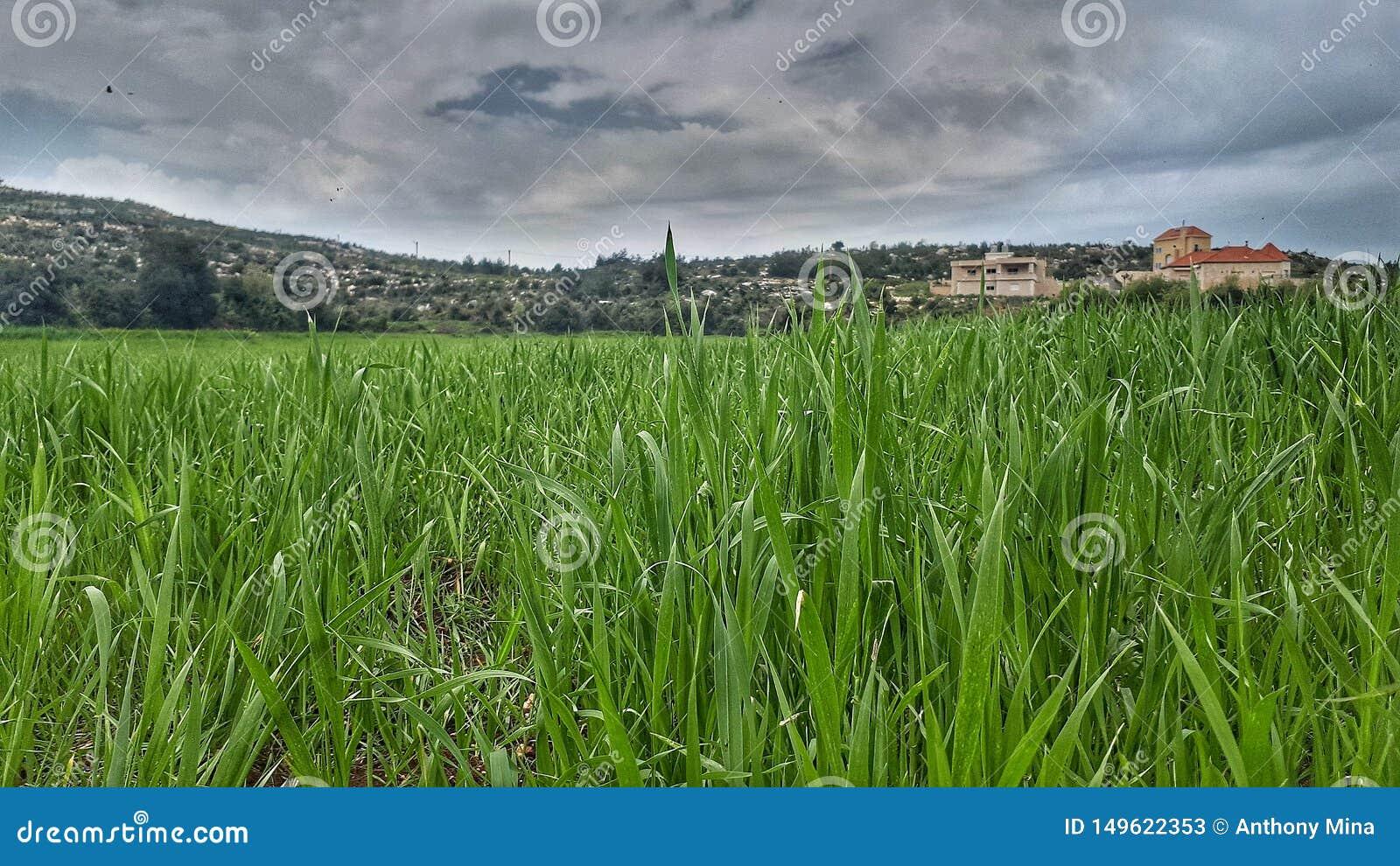Champs des verts repérés dans Akkar au nord du Liban sur la route Le Liban dans le Moyen-Orient est beau