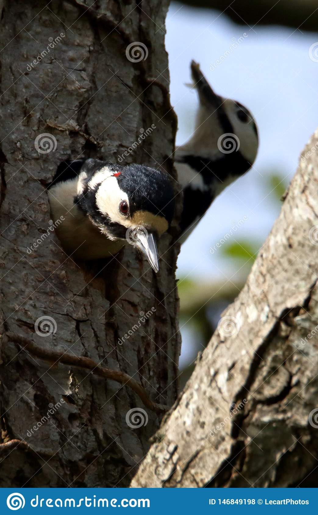 Change Over At The Great Spotted Woodpecker Nest