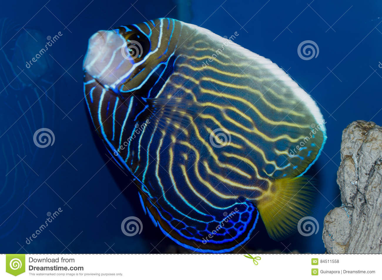 Emperor Angelfish Changing